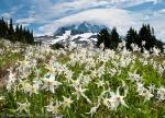White Avalanche Lily in Spray Park, Mount Rainier National Park, Washington, USA.