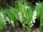 muguet-lily_of_the_valley