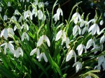 spring-snowdrops-1024-768-3024