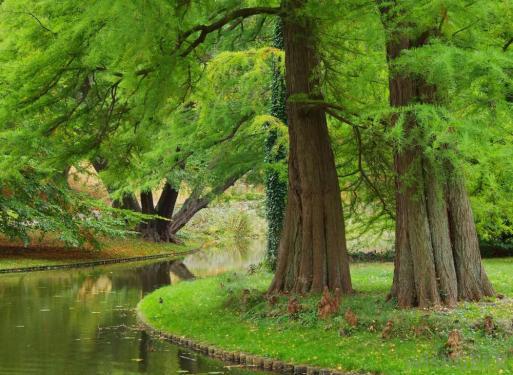 dawn-redwood-trees-near-water